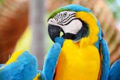 五颜六色的蓝色和黄色金刚鹦鹉鸟 免版税库存照片