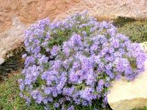 五颜六色的蓝色翠菊野花在阿比林,得克萨斯 免版税库存图片