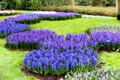 五颜六色的蓝色风信花在荷兰春天庭院里开花开花 库存照片