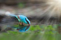 五颜六色的蓝色鸟饮用水 免版税库存图片
