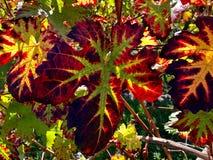 五颜六色的藤叶子在秋天 免版税图库摄影