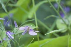 五颜六色的虹膜兰花紫色小花 免版税库存照片