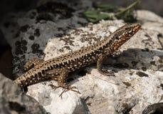 五颜六色的蜥蜴坐一块石头在克罗地亚 免版税库存照片
