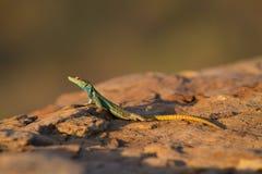 五颜六色的蜥蜴 免版税库存图片