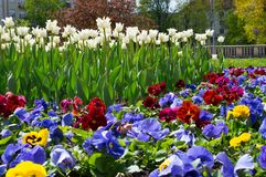 五颜六色的蝴蝶花和白色郁金香花圃背景在春天从事园艺 关闭 免版税库存图片