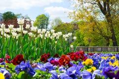 五颜六色的蝴蝶花和白色郁金香花圃背景在春天从事园艺 图库摄影