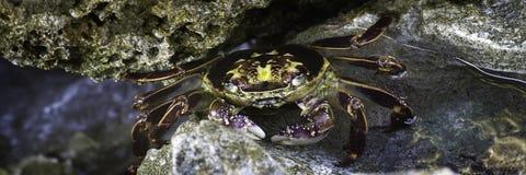 五颜六色的螃蟹 免版税库存图片