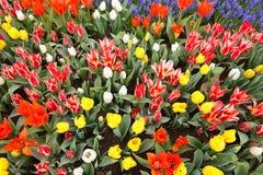 五颜六色的被装载的庭院春天郁金香 免版税库存图片
