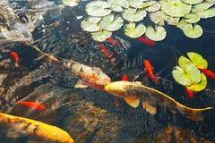 五颜六色的装饰鱼在一个人为池塘,看法从上面漂浮 免版税库存图片