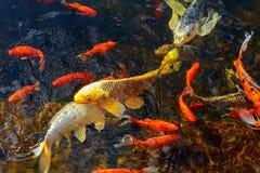 五颜六色的装饰鱼在一个人为池塘,看法从上面漂浮 库存图片