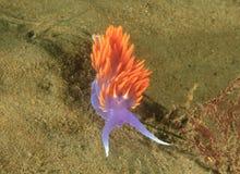五颜六色的西班牙披肩nudibranch,圣诞老人卡塔利娜海岛, los a 免版税库存图片