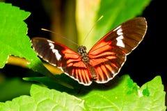 五颜六色的邮差蝴蝶 图库摄影