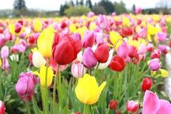 五颜六色的郁金香农场 图库摄影