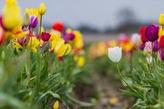 五颜六色的郁金香农场 免版税库存照片