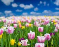五颜六色的郁金香在一个晴朗的春日 免版税图库摄影