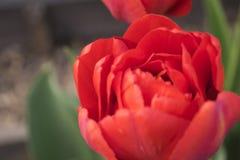 五颜六色的郁金香在一个晴朗的绿色春天公园开花 免版税库存图片
