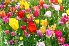 五颜六色的郁金香在公园-春天风景 免版税图库摄影