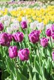 五颜六色的郁金香在公园 库存图片