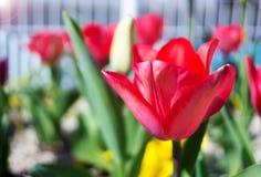 五颜六色的郁金香在春天太阳在Nobeoka宫崎日本 图库摄影