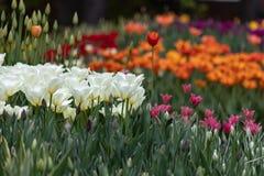 五颜六色的郁金香在春天 免版税库存照片