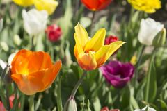 五颜六色的郁金香在荷兰, 免版税图库摄影