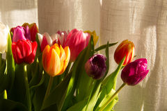 五颜六色的郁金香在阳光下 免版税图库摄影