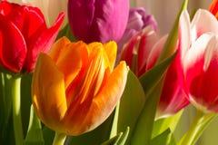 五颜六色的郁金香在阳光下 免版税库存照片