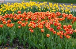 五颜六色的郁金香在Sprin 库存图片