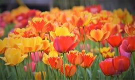 五颜六色的郁金香壮观的秀丽!!! 库存图片