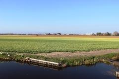 五颜六色的郁金香对角行在红色和桃红色的在与一块花田的一个风景在阿姆斯特丹附近的背景中下面的 免版税图库摄影