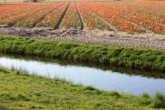 五颜六色的郁金香对角行在红色和桃红色的在与一块花田的一个风景在阿姆斯特丹附近的背景中下面的 免版税库存照片