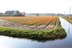 五颜六色的郁金香对角行在红色和桃红色的在与一块花田的一个风景在阿姆斯特丹附近的背景中下面的 库存照片