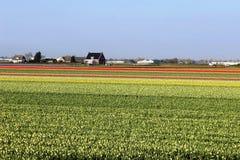 五颜六色的郁金香对角行在红色和桃红色的在与一块花田的一个风景在阿姆斯特丹附近的背景中 免版税库存图片