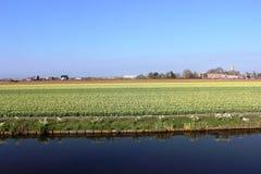 五颜六色的郁金香对角行在红色和桃红色的在与一块花田的一个风景在阿姆斯特丹附近的背景中 免版税库存照片
