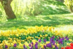 五颜六色的郁金香庭院在绿色公园 库存照片