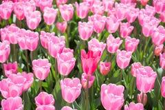 五颜六色的郁金香开花作为背景在庭院里 图库摄影
