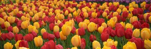 五颜六色的郁金香开花有在聪慧的su的美好的背景 免版税库存照片