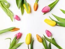 五颜六色的郁金香美好的春天框架在白色的 免版税库存照片