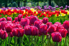 五颜六色的郁金香花在春天晴天 库存图片