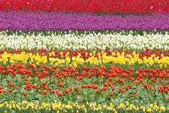 五颜六色的郁金香花的领域 免版税库存照片