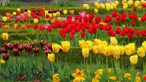 五颜六色的郁金香花 图库摄影