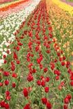 五颜六色的郁金香荷兰密执安垂直的领域 免版税图库摄影