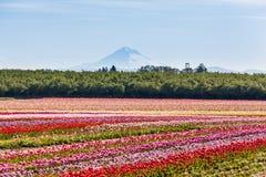 五颜六色的郁金香领域和Mt 敞篷 库存图片