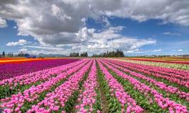 五颜六色的郁金香领域 免版税库存照片
