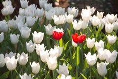 五颜六色的郁金香 免版税库存照片