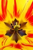 五颜六色的里面郁金香 库存图片