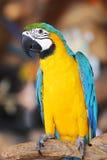 五颜六色的金刚鹦鹉坐日志 免版税库存图片
