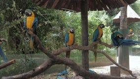 五颜六色的金刚鹦鹉画象在动物园模仿坐树枝,青和黄色金刚鹦鹉拉特 Ara Ararauna 影视素材