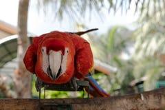 五颜六色的金刚鹦鹉鸟在庭院里,鹦鹉 免版税库存照片