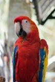 五颜六色的金刚鹦鹉鸟在庭院里,鹦鹉 免版税图库摄影